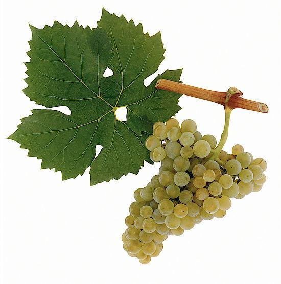 Ein Bild zeigt Trauben der Rebsorte Müller-Thurgau